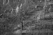 Burned forest in black and white — Stockfoto
