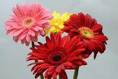 Gerber flower — Stock Photo