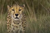 Cheetah (Acinonyx jubatus jubatus) — Stock Photo