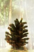 Double exposure pine cone in a forest — Stock Photo