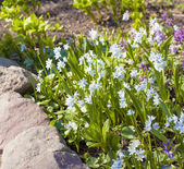 blue snowdrops in spring forest — Stock Photo