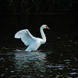 White swan in the water. Swan on dark background — Stock Photo #52994559