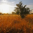 Bush in the middle of a meadow with tall grass at sunset — Stock Photo #53136445