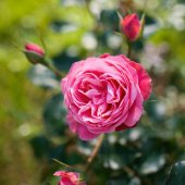 Pink garden rose against soft green background with shallow dept — Stock Photo