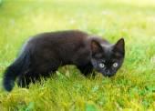 Beautiful black cat walking in the garden — Stock Photo
