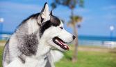 Adorable husky at park — Stock Photo