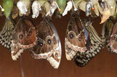 Pupa butterfly — Stock Photo