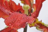 Red parot tulip — Stock Photo