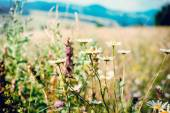 Camomiles in mountains — Stock Photo