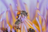 Bees inside purple lotus flower. — Fotografia Stock