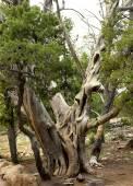 Ancient Bristlecone Pine — Stock Photo