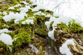 Background texture of the moss on the bark of a tree with snow in the bright winter day — ストック写真