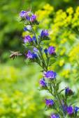 Bee sitting on a blue colors and collects flower nectar in the meadow on a sunny day — Stock Photo
