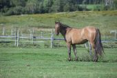 Quarter horse gelding — Stock Photo