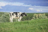 Holstein cow grazing in a pasture — Stock Photo