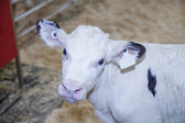 Young Holstein calf in a nursery located on a dairy farm — Foto Stock