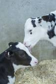 Two young Holstein calves resting in a dairy farm nursery — Fotografia Stock