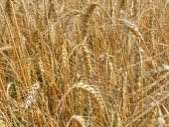 Golden rye spikelets — Stock Photo