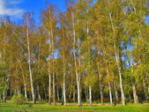 Autumn Preshpect from side - birch trees on wind, Yasnaya Polyana, Tula, Russia — Stock Photo