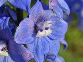Splendid blue delphinium — Stock Photo