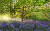 Sunburst through trees illuminating bluebells — Stock Photo