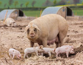 Sow looks on as her piglets play nearby — Stock Photo