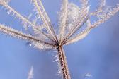 Frosty flower heads under blue skies — Stock Photo