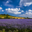 Purple Flax field in Hampshire — Stock Photo #63708393