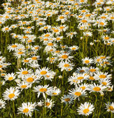 White daisies in a field — Stock Photo