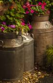 Flowers in old milk churns — Stock Photo