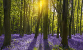 Sunlight casts shadows across bluebells in a wood — Stock Photo
