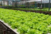 Hydroponic vegetables growing in greenhouse — Stock Photo