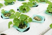 ファームで栽培水耕栽培野菜 — ストック写真
