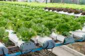 Cultivation hydroponics green vegetable in farm — Stock Photo