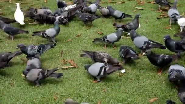 Una bandada de palomas comiendo. — Vídeo de stock
