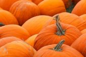 Heap of farm pumpkins — Stock Photo