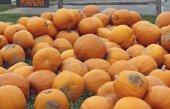 Heap of farm pumpkins — Stock Photo