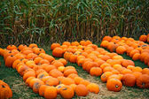 Heap of farm pumpkins on corn field — Stock Photo