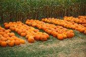 Heap of farm pumpkins on corn fiels — Stock Photo