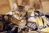 Tabby cat lying on a sofa at home — Stock Photo
