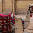 Camel with colorful horsecloth. Giza. Egypt — Stock Photo #55185605