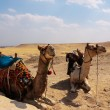 Two camels in the desert. Egypt — Stock Photo #55185611
