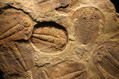 Fossil trilobite imprint in the sediment. — Stock Photo