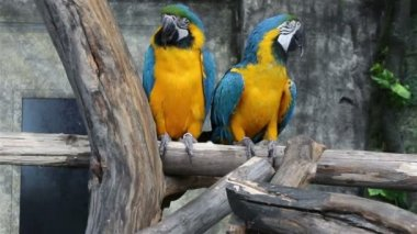 Blue-and-Yellow Macaw, Ara ararauna, also known as the Blue-and-Gold Macaw — Stock Video