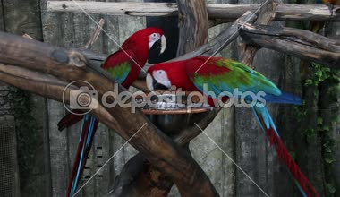 Two bright macaw parrot eating — Stock Video
