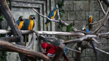 Flock of macaws — Stock Video