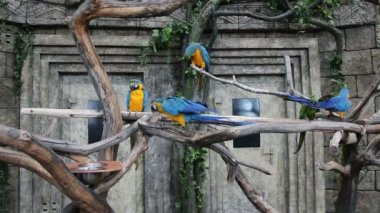 Blue-and-Yellow Macaw, Ara ararauna — Stock Video