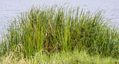 Wild grasses have water as background — Stock Photo