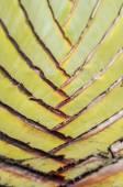 Traveller's tree texture — Stock Photo