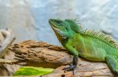 Green chameleon — Stock Photo